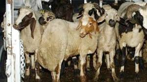 Koyun hırsızlığına 2 tutuklama