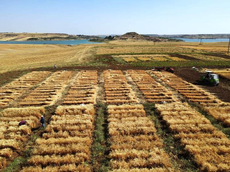 Kuraklığa Dayanıklı Makarnalık Buğday Çeşit Geliştirme Çalışmaları Devam Ediyor