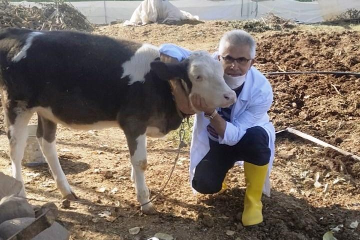 Sığırlarda Ölümlere Yol açan Hastalık İçin Aşı Çalışmasına Başladı