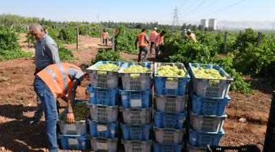 Büyükşehir kendi ürettiği meyveleri vatandaşlara ikram ediyor