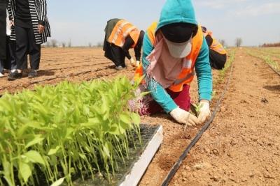 Büyükşehir yerli tohumlarla kendi biberini yetiştiriyor