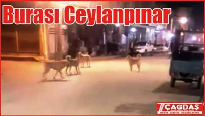 Ceylanpınar'da başıboş hayvanlar tehlike saçıyor