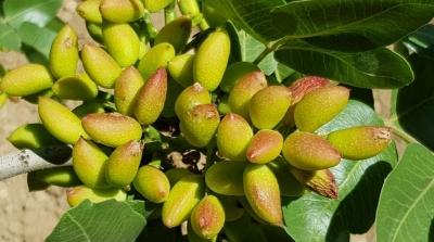 HRÜ, Dolu'dan Zarar Gören Fıstık Ağaçlarına Çözüm Üretti