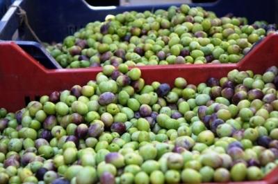 Yeşil zeytin 5 ila 10 lira arasında satışa sunuldu